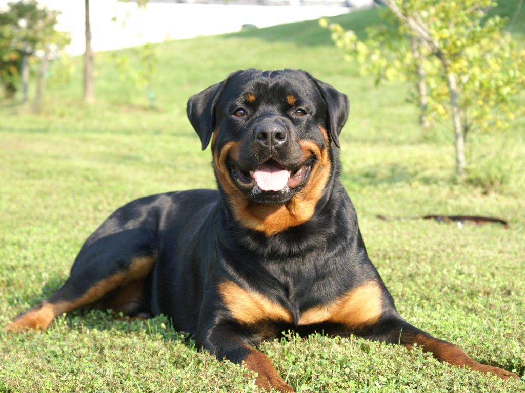 rottweiler-dog-new-angry