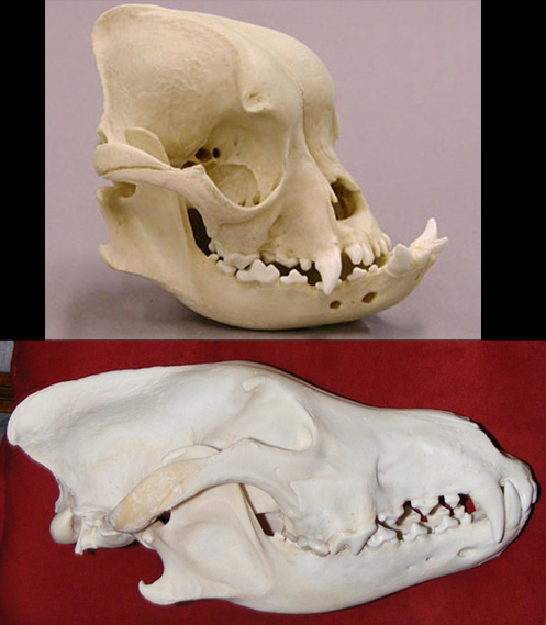 bottom-wolf-top-ebull