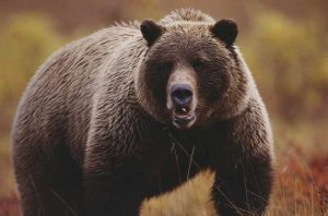 A large adult grizzly bear faces the camera (Photo by Joel Sartore/National Geographic/Getty Images)