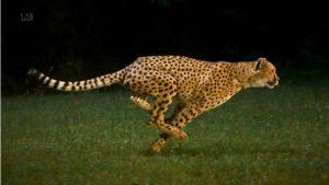 guepardo1