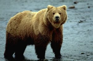 Alaska. Brown Bear (Ursus arctos).