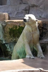wet-polar-bear