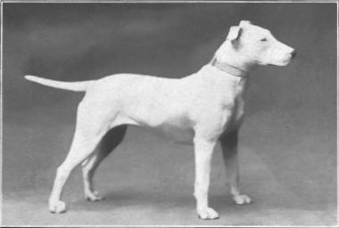 Bull_Terrier_from_1915