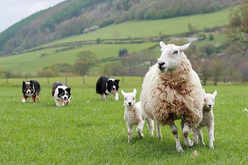 Border Collie trabalhando com ovelhas