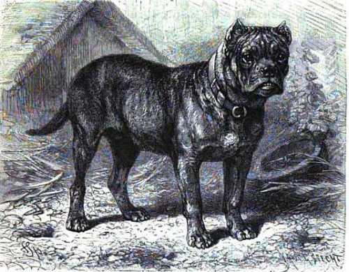 lydekkers-bulldog