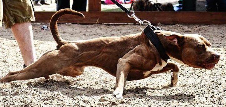American Pit Bull Terrier Gladiador
