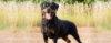 As vantagens de um cão de segurança - Cão de Guarda
