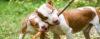 Como vejo o PITBULL - American Pit Bull Terrier