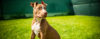 Minhas primeiras impressões do PitBull - American Pit Bull Terrier