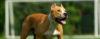 Convivendo com os PITBULLS - American Pit Bull Terrier