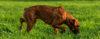 O Boxer Bobtail