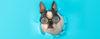 O perigo de humanizar os cães - Adestramento de cães e Comportamento Canino