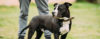American Pit Bull Terrier X American Staffordshire Terrier