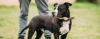 American Pit Bull Terrier X American Staffordshire Terrier - American Pit Bull Terrier