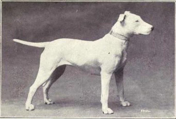 Terrier Branco
