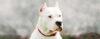 A minha opinião sobre o DOGO ARGENTINO - Cão de Guarda