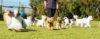 Como SOCIABILIZAR um cão com outros cães
